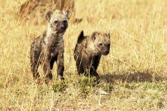 Masai Mara Young Hyenas Royaltyfri Fotografi