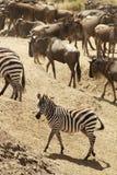 Masai Mara Zebra Photo libre de droits