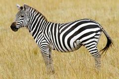 Masai Mara Zebra Image libre de droits