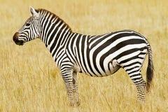 Masai Mara Zebra royaltyfri bild