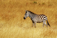 Masai Mara Zebra royaltyfria bilder