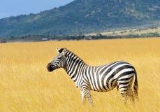 Masai Mara Zebra royaltyfri foto