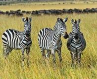 Masai Mara Zebra arkivbilder