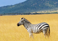 Masai Mara Zebra Royalty Free Stock Photo
