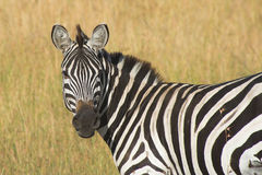 Masai Mara Zebra Portrait. Zebra Shot taken in the Masai Mara, Kenya royalty free stock photo