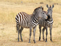 Masai Mara Zebras Stock Photo