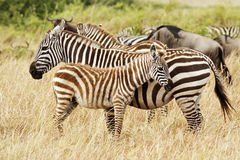 Masai Mara Zebras Stock Photos