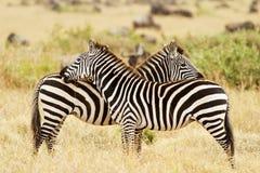 Masai Mara Zebras lizenzfreie stockbilder