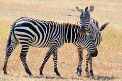 Masai Mara Zebras Royalty Free Stock Image