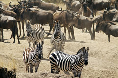 Masai Mara Zebras Stock Images