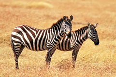Masai Mara Zebras Fotografia Stock Libera da Diritti