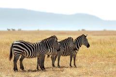 Masai Mara Zebras Royalty-vrije Stock Afbeeldingen
