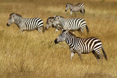 Masai Mara Zebras Royaltyfri Bild