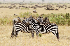 Masai Mara Zebras Royalty Free Stock Photography