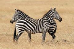 Masai Mara Zebras Stock Image
