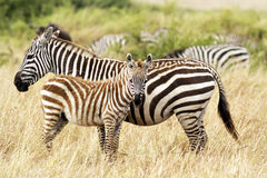 Masai Mara Zebras Stock Photos
