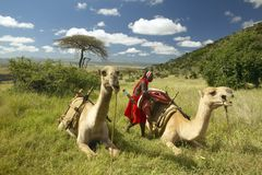 Masai in red robe and Camels and Acacia tree at Lewa Conservancy, Kenya, Africa Royalty Free Stock Photography