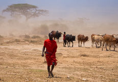 Masai shepherd with herd of cows Royalty Free Stock Photo