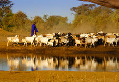 Masai shepherd with herd of goats Royalty Free Stock Photos