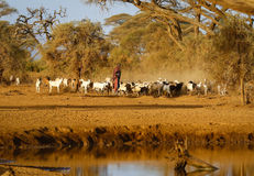 Masai shepherd with herd of goats Stock Image