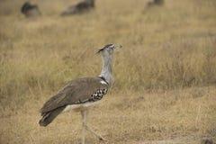Masai struś, także znać jako necked struś obrazy royalty free