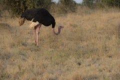 Masai struś, także znać jako necked struś zdjęcie stock