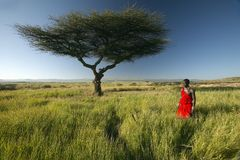 Masai Warrior in red standing near Acacia tree and surveying landscape of Lewa Conservancy, Kenya Africa Royalty Free Stock Images