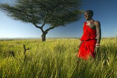Masai Warrior in red standing near Acacia tree and surveying landscape of Lewa Conservancy, Kenya Africa Royalty Free Stock Image