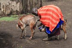 Masai women milking her goat stock photography
