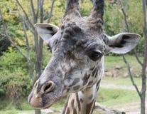 Masai żyrafa Zdjęcie Stock