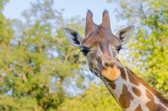 Masai żyrafa w Afryka Zdjęcie Stock