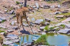 Masaigiraff som dricker från ström Royaltyfri Bild