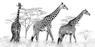 Masaigiraffe Lizenzfreie Stockbilder