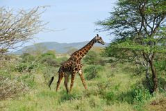 Masaigiraffe lizenzfreie stockfotos