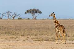 Masaigiraffe, die durch die Wiesen von Amboseli geht stockfoto