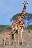 Masaigiraffet behandla som ett barn att dia arkivfoton