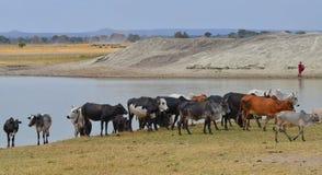 Masais bemannen mit Vieh 2 lizenzfreie stockfotos