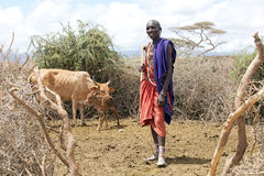 Masais bemannen und Vieh stockfotos