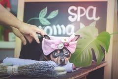 Masaje y balneario, un perro en un turbante fotos de archivo libres de regalías