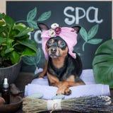 Masaje y balneario, un perro en un turbante de una toalla imagen de archivo
