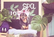 Masaje y balneario, un perro en un turbante de una toalla imagenes de archivo