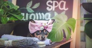 Masaje y balneario, un perro en un turbante de una toalla entre los artículos del cuidado del balneario y plantas imagen de archivo libre de regalías
