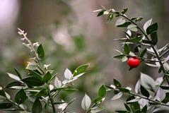 Masarki ` miotła z czerwoną jagodą Obraz Stock