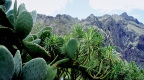 Succulents in the valley of Masca. Masca, Macizo de Teno mountains, Tenerife, Canary Islands Royalty Free Stock Photos