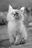 Mascarada de Neva del gatito Fotos de archivo