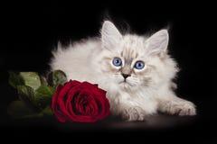 Mascarada hermosa mullida de Nevskaya del gatito con los ojos azules que presentan con una rosa del escarlata en un fondo negro foto de archivo