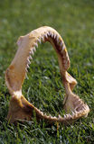 Mascella dello squalo di tigre Immagine Stock Libera da Diritti