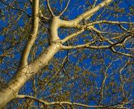 Maschera astratta del pioppo bianco Fotografia Stock Libera da Diritti