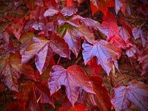 Maschera della priorità bassa delle foglie di acero Fotografia Stock
