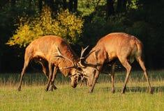 Maschi dei cervi nel combattimento della carreggiata Immagine Stock Libera da Diritti